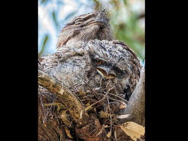 Tawny Frogmouths by student Frank McKernan