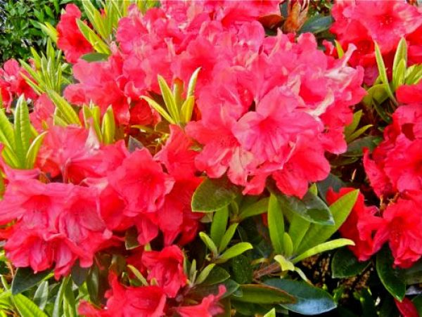 Rhododendron Copyright https://www.onlineflowergarden.com