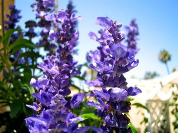 Blue Salvia Copyright https://www.onlineflowergarden.com