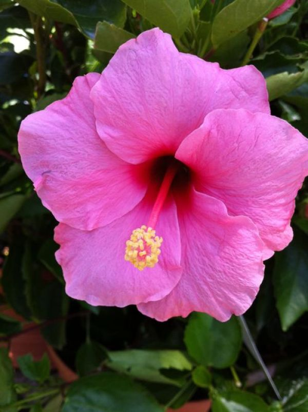 Hibiscus copyright www.onlineflowergarden.com