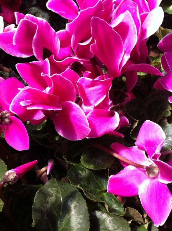 Cyclamen copyright www.onlineflowergarden.com