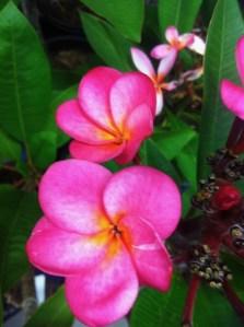 Plumeria @ www.onlineflowergarden.com