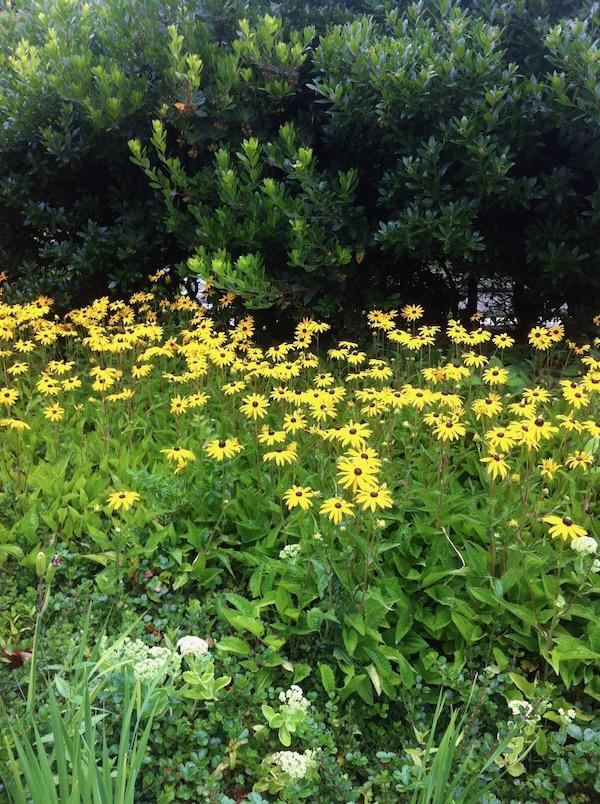 Rudbeckia http:www.onlineflowergarden.com
