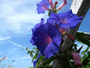 Ipomoea purpurea or Morning Glory