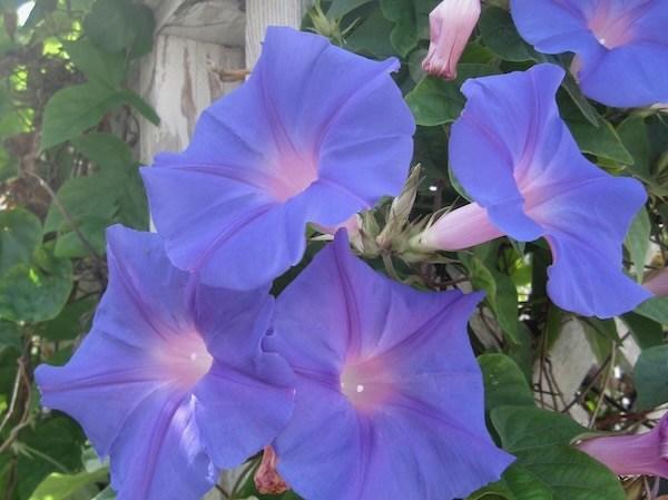 Ipomoea purpurea or Morning Glory