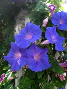 Blue Morning Glory or Ipomoea