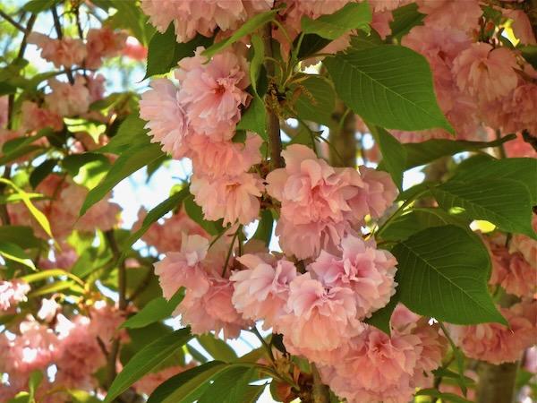 Prunus Serrulata or Cherry Blossom