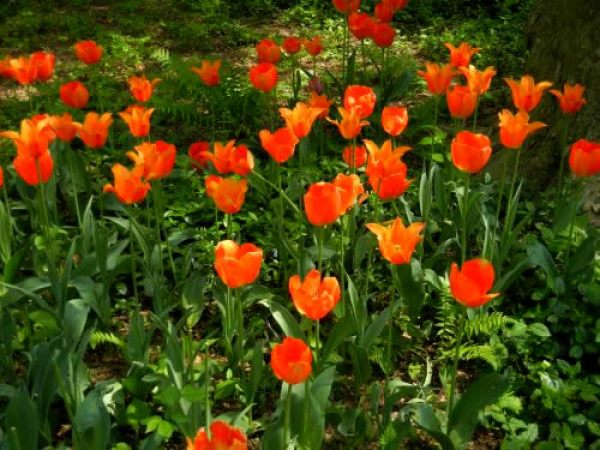 Red Tulips at Central Park