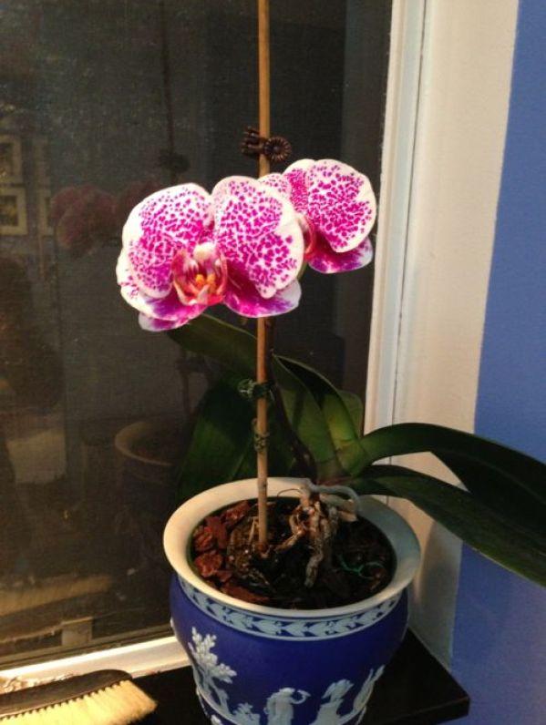 Orchid www.onlineflowergarden.com Phalaenopsis