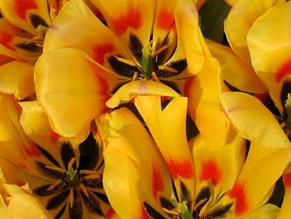 IMG_7046 Tulips onlineflowergarden.com