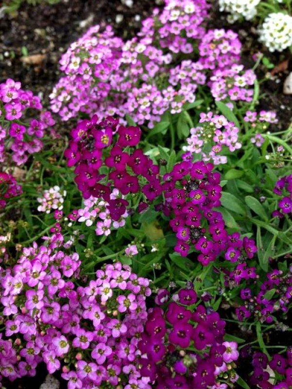 Allysum www.onlineflowergarden.com
