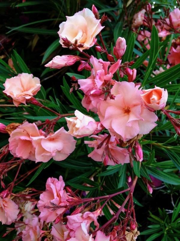 Nerium Oleander www.onlineflowergarden.com