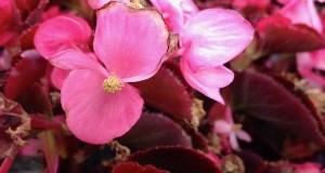 Begonia Bronzleaf © onlineflowergarden.com