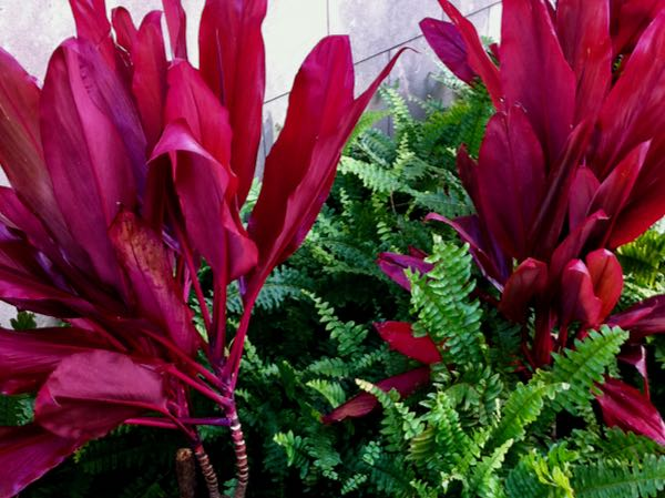 Cordyle fruticosa 'Red Sister'