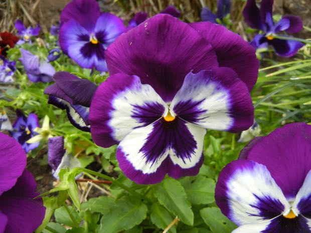 Tricolor Pansy