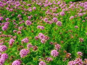 Pink Phuopsis Stylosa