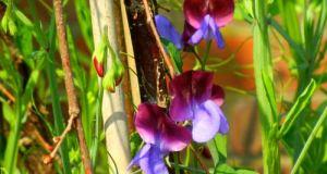 Lathyrus odoratus Sweet Pea
