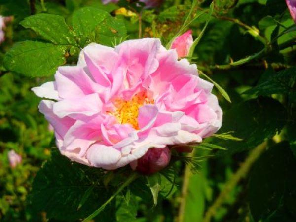 Rosa Damascena or Damask Rose