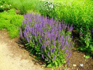 Salvia Sylvestris, Mainacht