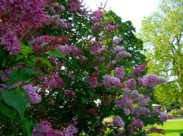 Syringa Prestoniae, Kew Gardens