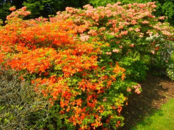rhododendron coccineum speciosum and gloria mundi