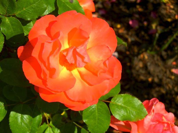 Tintinara Rose