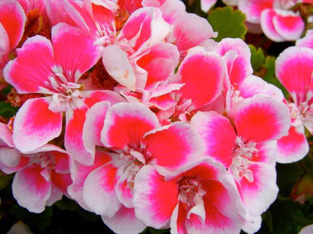 Pelargonium Hortorum - Flower Fairy White Splash