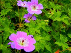 Geranium wallichianum - Rise and Shine,