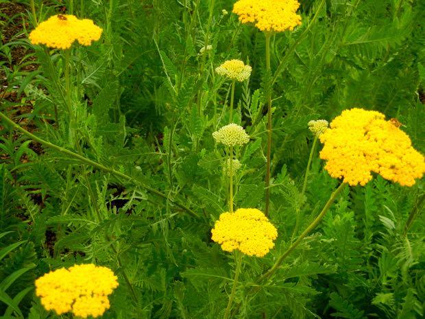 Achillea filipendulina, Gold Plate