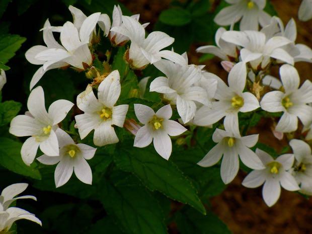 Campanula Lactiflora - Assendon Pearl