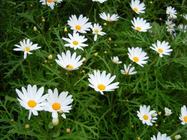 Argyranthemum Frutescens Canariae