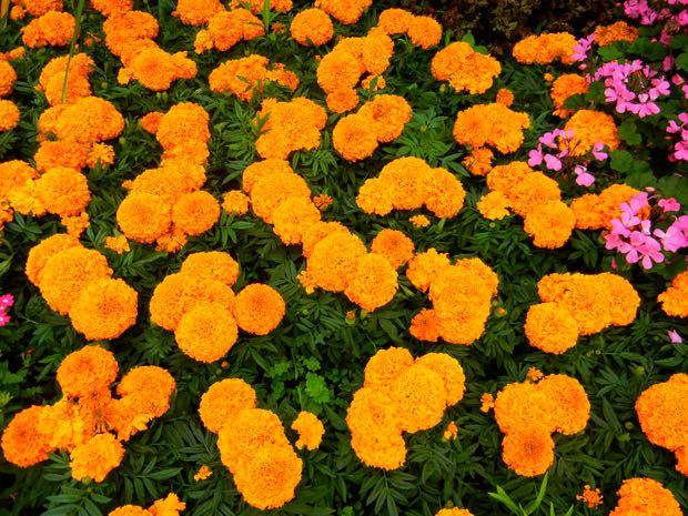 African marigolds (Tagetes erecta)