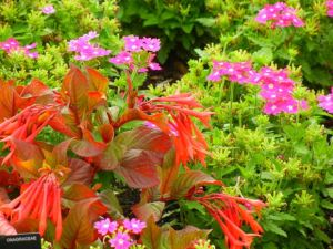 fuchsia triphylla thalia