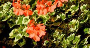 Pelargonium - Frank Headley