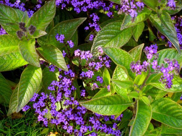 Heliotropium Arborescens - Marine