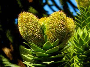 Araucaria araucana, Monkey Puzzle Tree