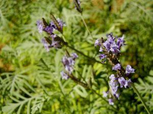 Lavandula buchii © onlineflowergarden.com