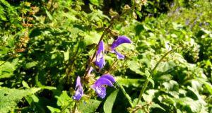 Salvia transsylvanica