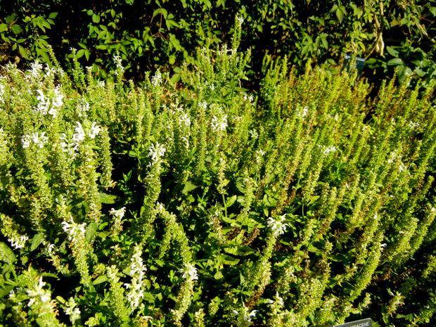 Salvia × sylvestris 'Schneehügel'