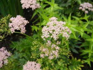 Chaerophyllum hirsutum'Roseum'