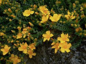 Hypericum polyphyllum