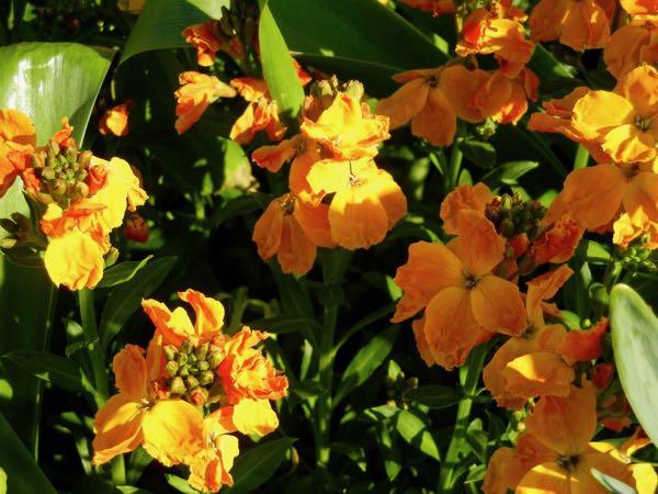 Erysimum cheiri 'Sunset' Orange