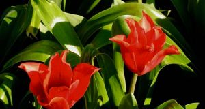Tulipa 'Pretty Woman'