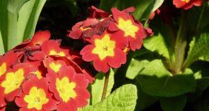 Primula 'Crescendo Bright Red'