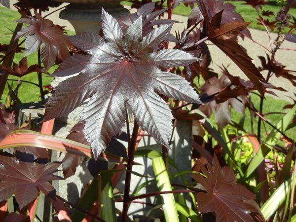 Ricinus communis - Castor Oil Plant