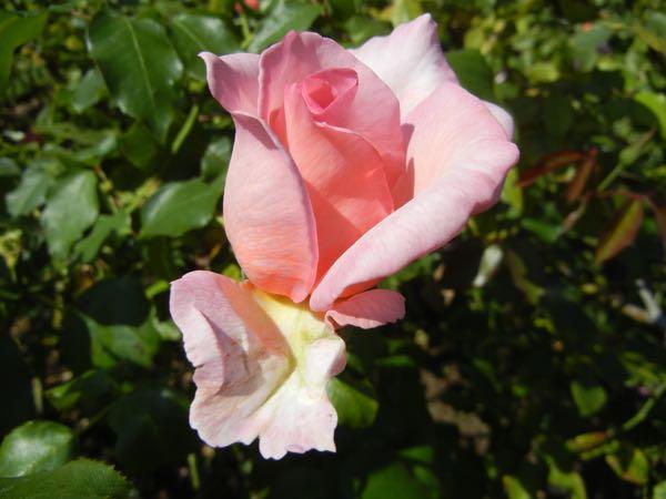 'Westminster Pink' Rose