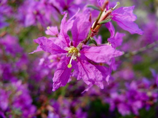 Lythrum salicaria 'Swirl'