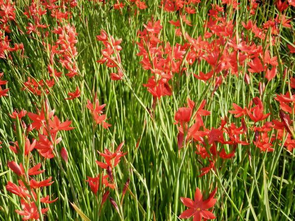 Hesperantha coccinea'Major'