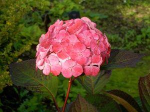 Hydrangea serrata 'Preziosa' © onlineflowergarden.com