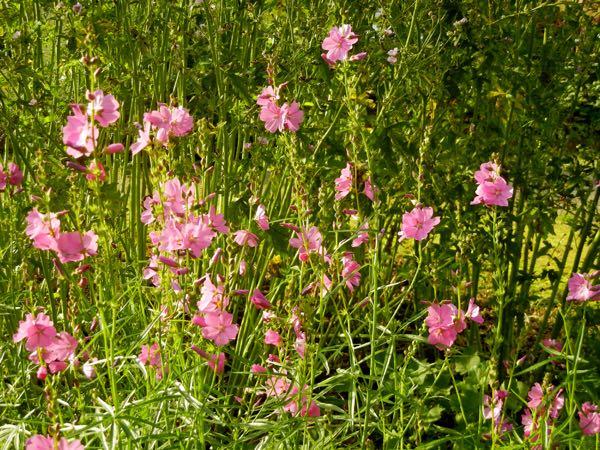 Sidalcea malviflora 'Rose Queen'